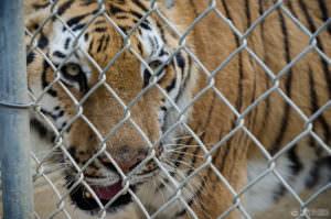 Tiger at Wildlife Waystation
